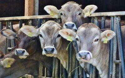 Рoбота (доїння коров):