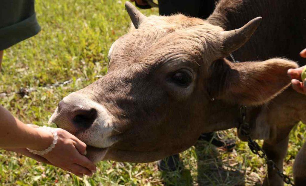 Робота для подружжя (при коровах):
